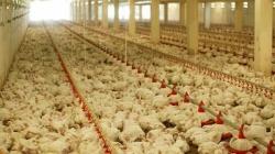 Alarmantna istina o mesu iz trgovačkih lanaca! Nećete vjerovati šta životinje jedu prije nego završe u tanjuru!