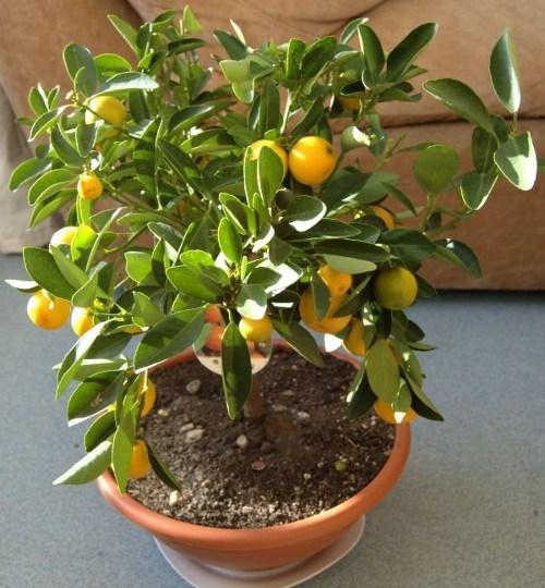 Лимон-дома