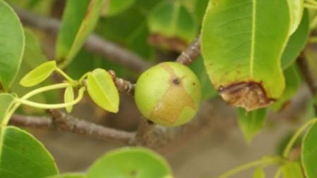 OD OVOG VOĆA SE ODMAH UMIRE: Izgleda kao obična jabuka, ali njen otrov će vas staviti na muke!