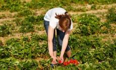 ITALIJA UPUTILA POZIV: Traže 13.000 radnika za sezonske poslove, plaćaju i do 120 eura dnevno!