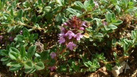 PRIRODNI SEDATIV: Ova je biljka broj 1 za fizičko i psihičko osvježenje i pomoć kod mnogih bolesti!