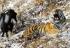 Tigru ubacili jarca za večeru, oni postali nerazdvojni prijatelji