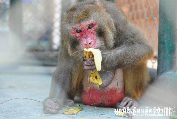 majmun-spasioci-tajland-foto-hefty-1460650501-886489