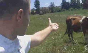 bosanac i krava