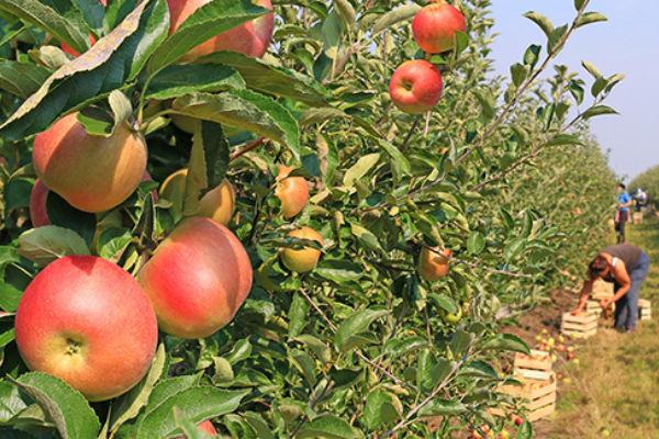 branje jabuka dnevnica 30 km placeno gorivo smjestaj i rucak