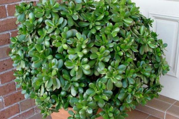 ovu biljku morate imati u kuci privlaci zdravlje novac i srecu