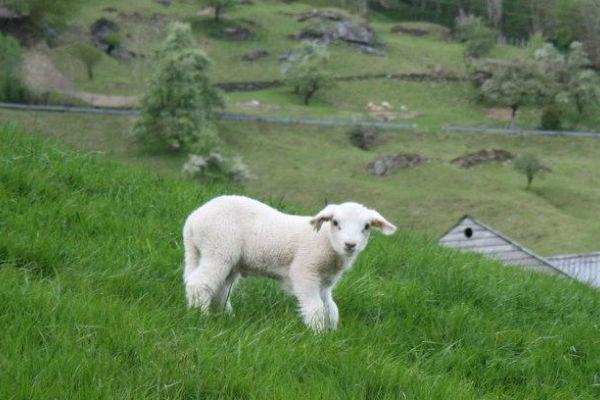 najisplativija rasa ovce jagnje se dva puta meso 3 eura