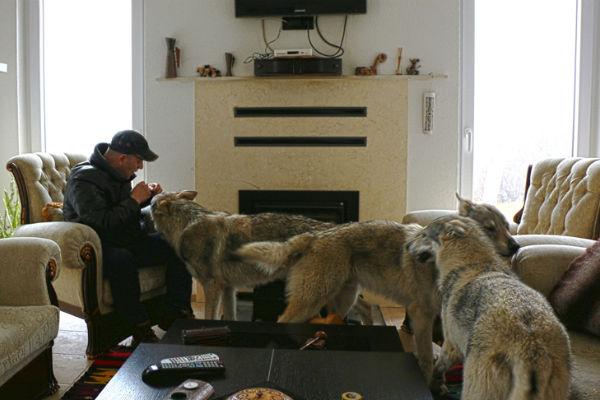 neobicni kucni ljubimci fadil u kuci drzi vukove ovi vukovi mi nisu uradili nista nazao ali ljudi jesu
