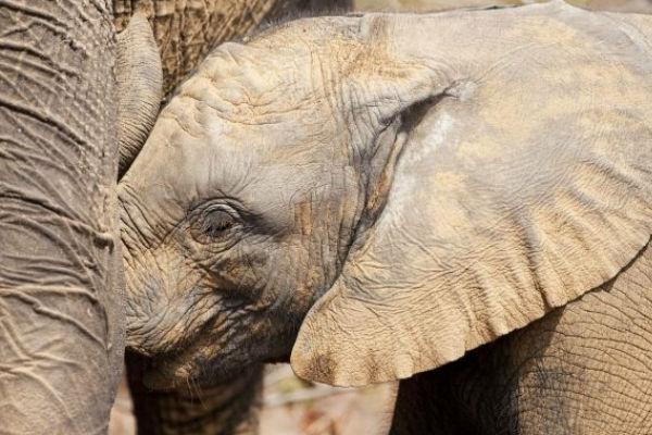 Da li ste znali da slonovi spavaju najkraće od svih sisara