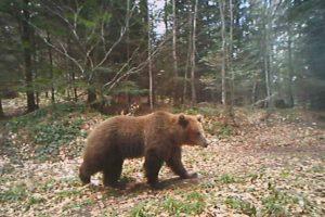 Užas kod Gacka: Razjareni medvjed napao stado ovaca i ranio psa