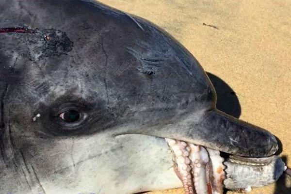 borba na zivot i smrt hobotnica ugusila delfina koji je htio pojesti