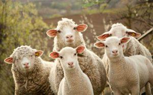 Komšiji oteo 18 ovaca i tražio 1.000 maraka da mu ih vrati